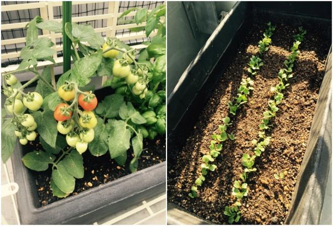 ベランダに作った家庭菜園。トマトの間にバジルを植えると虫よけになるとか。