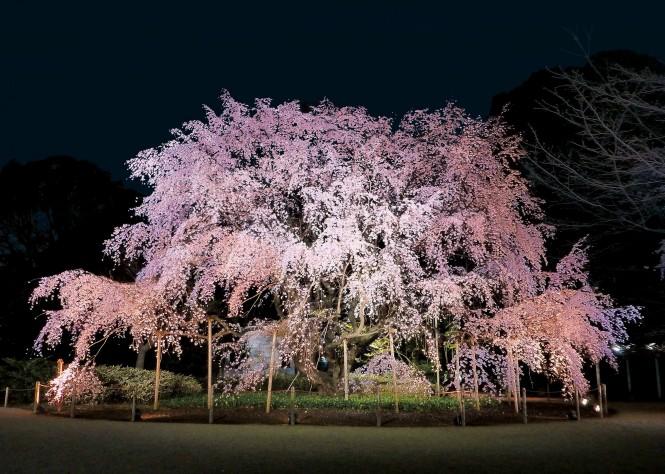 六義園のしだれ桜のライトアップ