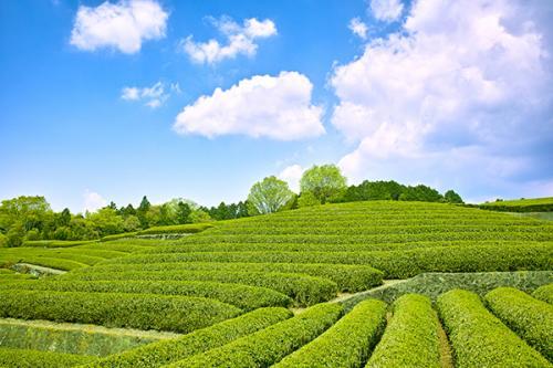 新茶シーズン、到来!