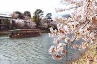 宇治橋上流桜