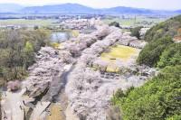 七谷川の桜空撮