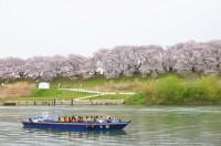 背割堤地区の桜並木