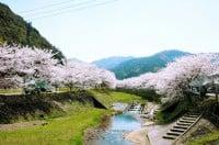 与保呂川沿いの桜/【写真提供:京都府地域情報ファクトブックシステム】