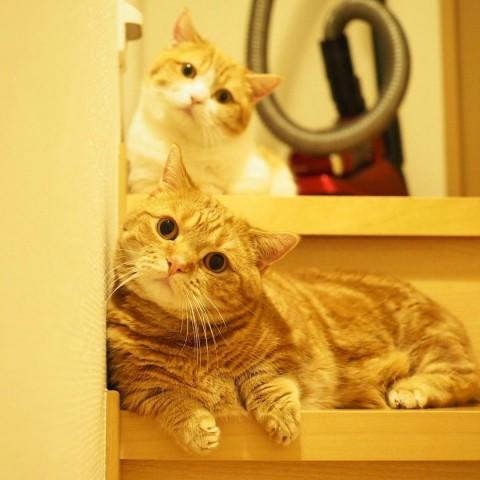サムネイル 【猫】マンチカンの短足兄妹・茶太郎&きなこフォトギャラリー