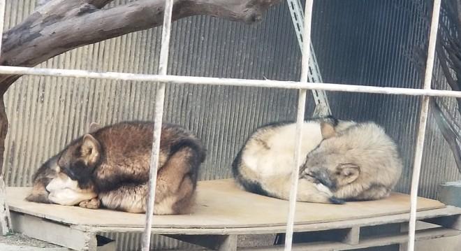 もふもふのオオカミ犬