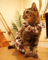 保護猫のためのザビエル首輪