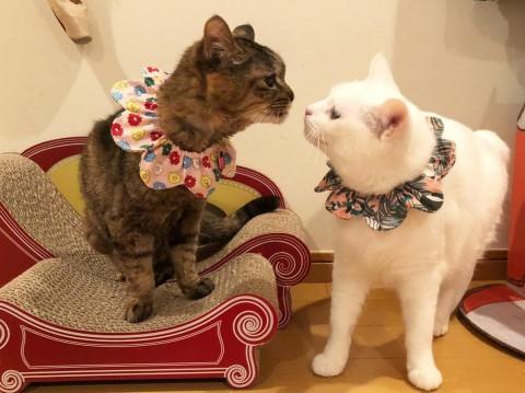 サムネイル 【猫】キジトラのシニア猫「モコ」と短尾の白猫「コト」の日常
