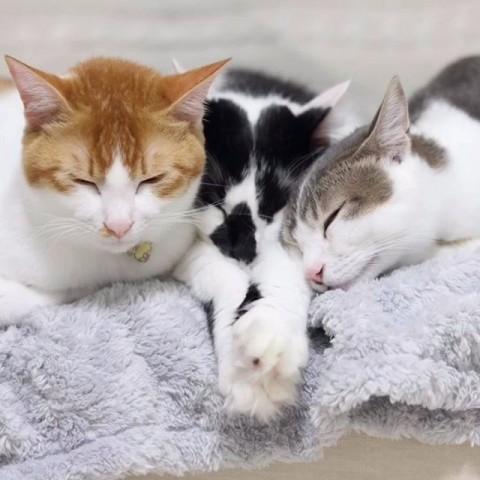 サムネイル 【猫】そらと双子のアメリ&カヌレのラブラブショット