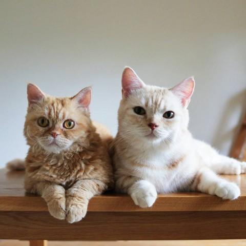 サムネイル 【猫】いつも一緒の仲良し兄妹マフィン&チーズ