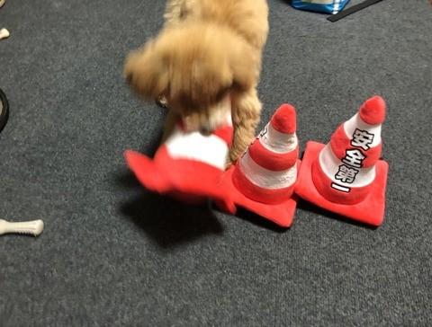 サムネイル 【犬】三角コーンが好きすぎるトイプードル・きなこの日常