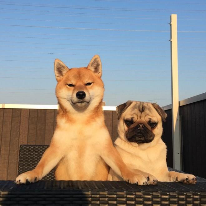 凛々しすぎる表情…朝日をかみしめている、柴犬アキとパグのラル