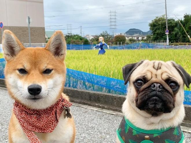 田んぼの前にたたずむ、柴犬のアキとパグのラル(画像提供:きたむらさん)