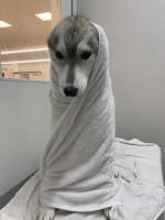 タオルにくるまれているユキちゃん