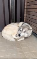 番犬として玄関の前で眠っていたシベリアンハスキーユキちゃん。寝ぼけていて飼い主さんが帰ってきたことに気づいていない