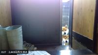 「散歩いかない?」と誘われているような目つきの柴犬たち