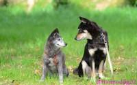 甲斐犬ももこ、雑種犬じん とても深い絆で結ばれているよう