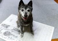 """""""おばあわん""""の甲斐犬ももこ 飼い主さんが新聞を読もうとすると、このようにいつも邪魔してきたという"""