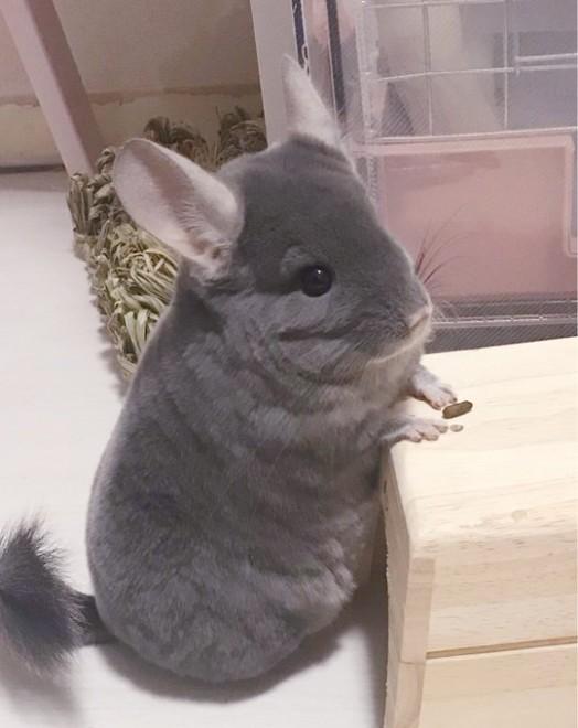 チンチラ ネズミ