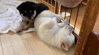 独特の体勢で眠る、仔犬たち