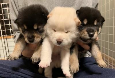 """生まれたての""""すみ""""をはじめとする3匹の仔犬たち"""
