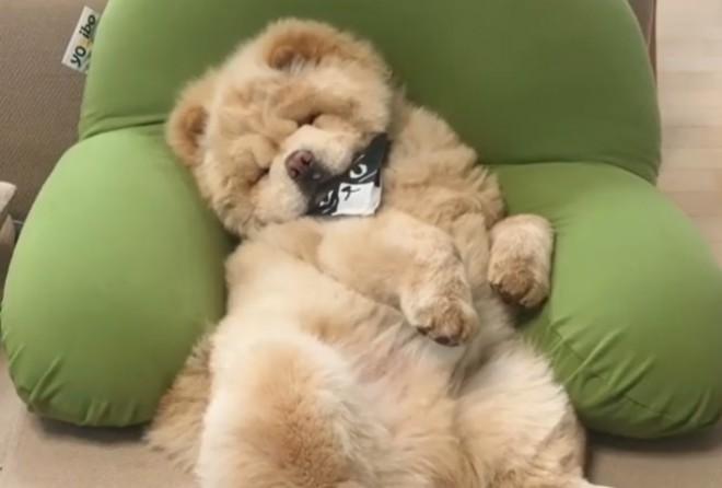 猫のよう…クッションに横たわり眠るくり蔵くん