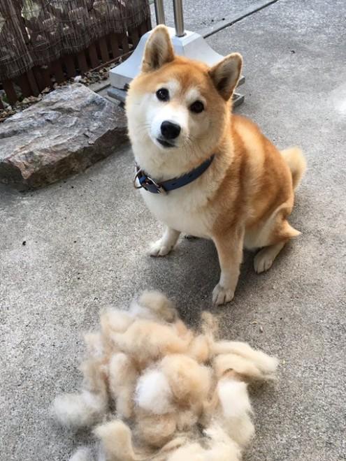 抜けた毛を前に、ドヤ顔で飼い主さんを見つめる柴犬ハルさん(画像提供:石原雄さん)