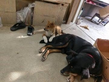窯元で飼われている先輩犬・クロにあまえる、仔犬ゴン(画像提供:@inukuma3)