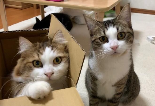 (左から)秀吉(マンチカン♂)とオデコ(マンチカン♀)