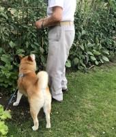飼い主さんの柴犬友だちと会話をしている、福丸くん