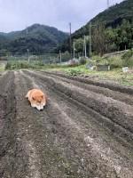 畑に柴犬が実った? 自由に遊ぶポテちゃん