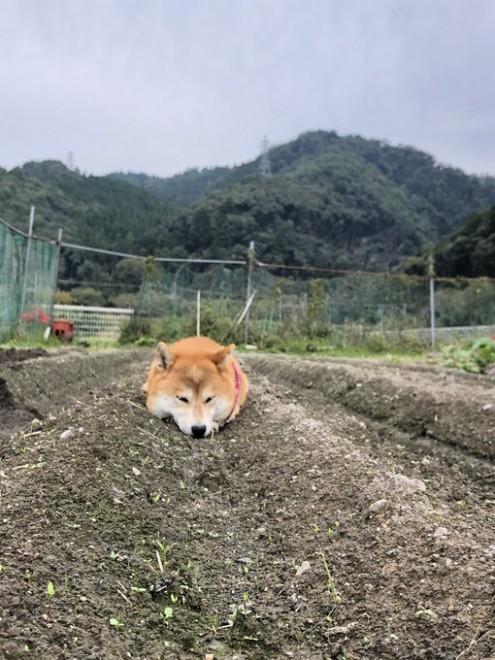 畑に実った? 柴犬・ポテちゃん(画像提供:@pote32jp)