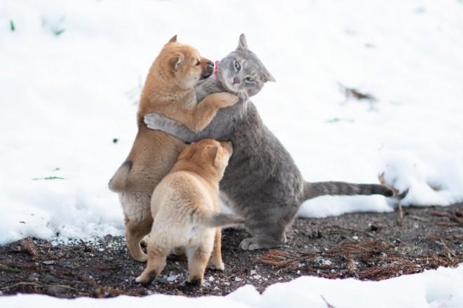 ねこへの愛が強すぎる、山陰柴犬の仔犬たち(画像提供:豊哲也)
