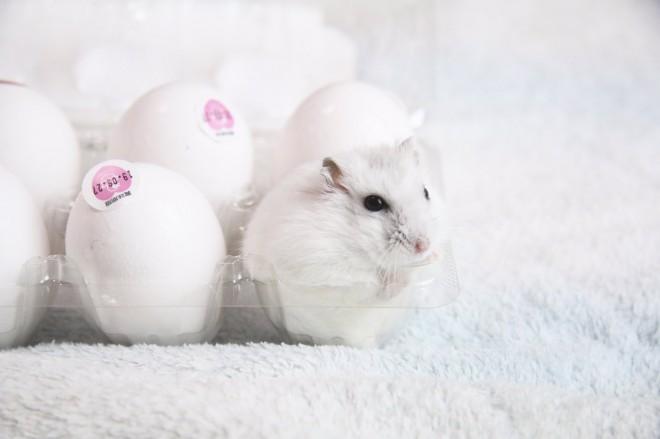 卵に紛れてもわからない違和感のなさ(画像提供:平さん)