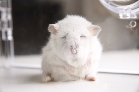 サムネイル 【ハムスター】もち太くんとぽん子ちゃんの「きゅんです」フォトギャラリー