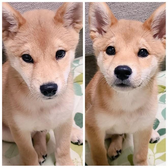 左:飼い主がスマホいじってる時の犬  右:飼い主がおもちゃを持った時の犬