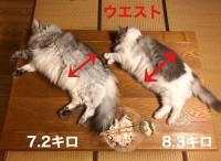 世界最大の家猫メインクーンとNo2ラグドールの2ショット