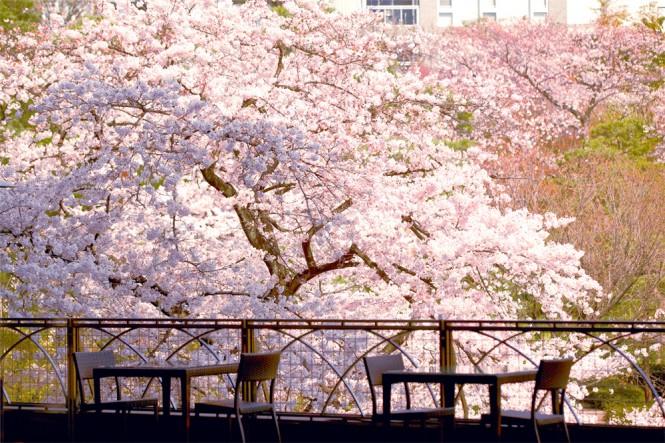 【都内穴場・お花見】テラス席から満開の桜!今すぐ行きたい白金台の絶景カフェ