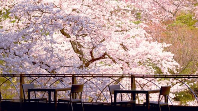 サムネイル 【都内穴場・お花見】テラス席から満開の桜!今すぐ行きたい白金台の絶景カフェ