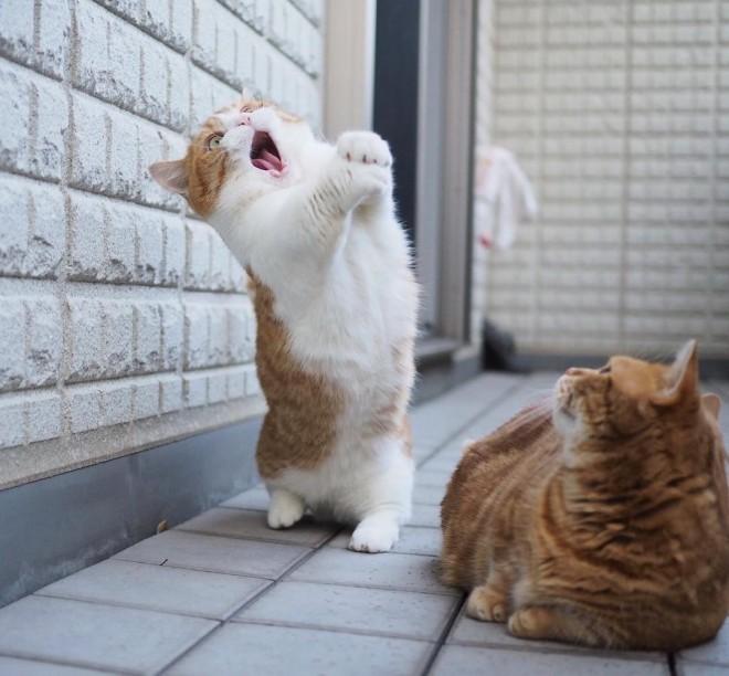 """サムネイル シャウトする猫に世界中が衝撃、""""マンチ立ち""""が得意な短足マンチカン兄妹の日常とは"""