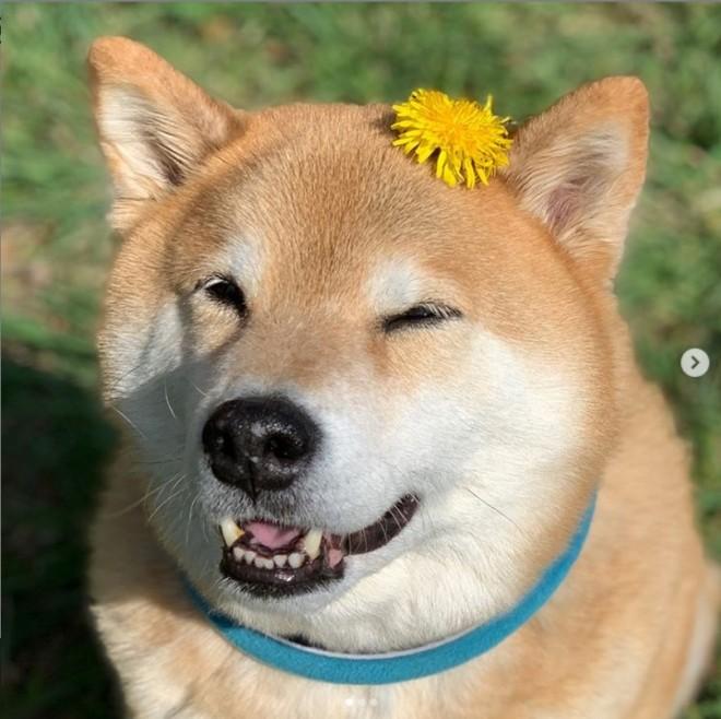 """サムネイル フォロワー250万越え""""柴犬まる""""、飼い主明かすSNS投稿の""""シンプル""""ルール"""