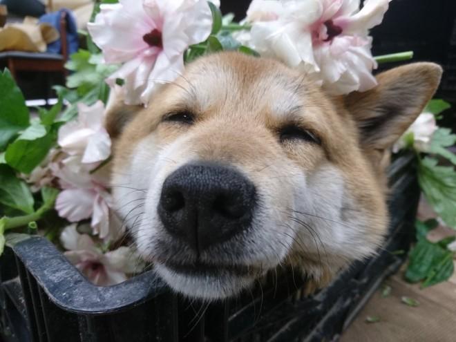 """サムネイル 「上司が犬なんです」管理職""""ワンコ""""に癒される人続出…花に埋もれ""""何もしない""""激務こなす"""
