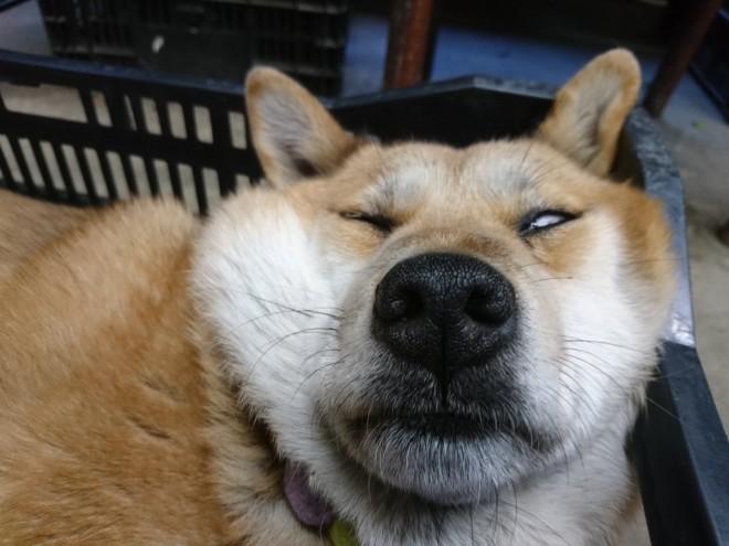 サムネイル 【かわいい犬】もふもふ厳選、 赤ちゃんから成犬まで、Twitterでバズった人気の犬画像・動画・イラストまとめ