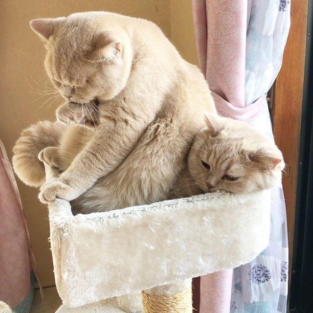 サムネイル 姉弟猫のみかん&ぽてとのじゃれあいが止まらない…子猫のてんぷら加入でモフモフが増量中