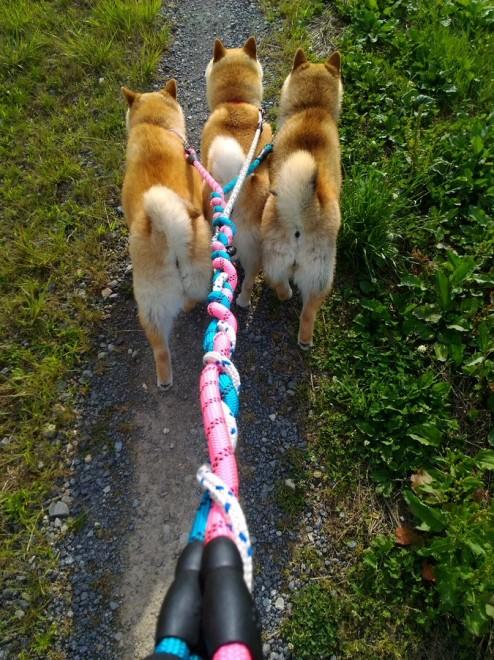 散歩時はリードが三つ編み状態に 活発に動き回る3匹