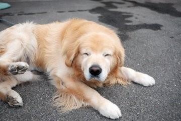 """サムネイル 翁の能面のような優しい顔…ゴールデンレトリバーの""""おじいわん""""に反響「老犬の魅力伝えていきたい」"""