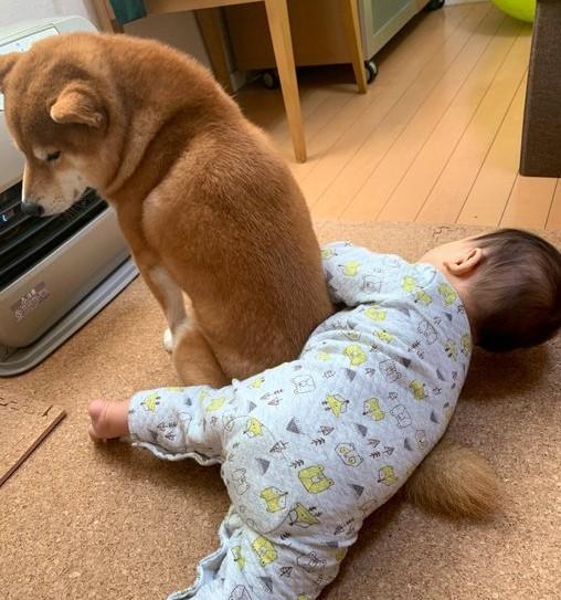 サムネイル 「ここから先は俺の毛で温まってくれ」柴犬と赤ちゃんがストーブ前で繰り広げる攻防に反響