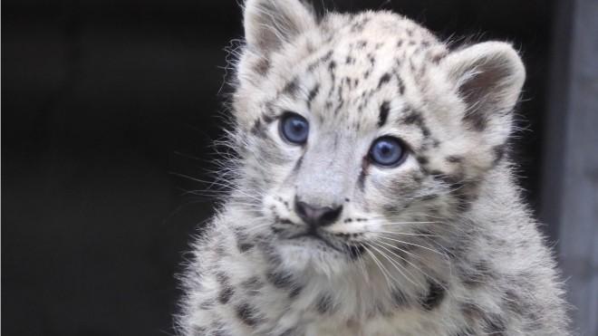 サムネイル フワフワ毛並みのユキヒョウの子ども、母親のしっぽは猫じゃらし?「野生のたくましさ感じて」