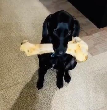 1kgの骨をくわえたまま、飼い主さんを見つめるゼルちゃん