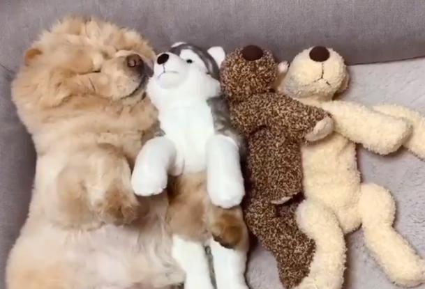 ぬいぐるみでは…? 人形たちと一緒に眠る、くり蔵くん