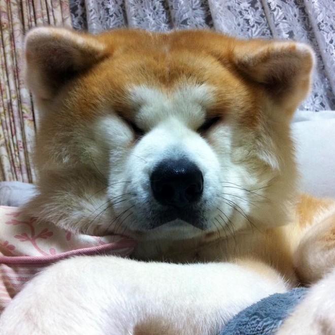 """サムネイル 「朝青龍に似ている!」インパクト大の秋田犬の""""寝顔写真""""が見ているだけで癒される"""